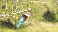 Most Northglen News readers have probably got a Brownhooded Kingfisher (Roberts 435) in their garden, which they won't need binoculars for!