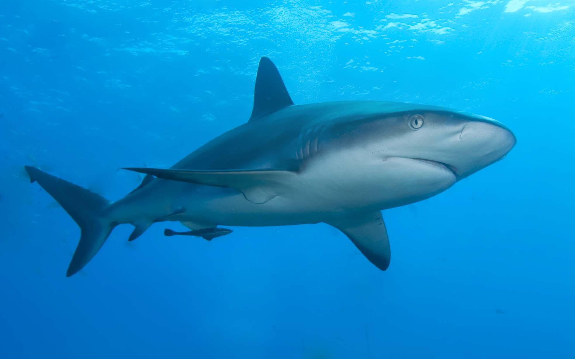Shark. Stock image.