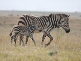 Cape mountain zebras.