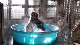 Zola the gorilla shows off his latest breakdance moves