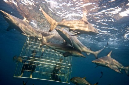 Shark Cage Diving2