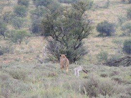 A cheetah, snapped just as it leapt into a thicket.