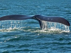 Stock photo of a southern right whale, taken from commons.wikimedia.org.