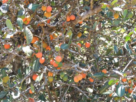 Invasives And Natives The Marvellous Mangosteen South Coast Herald