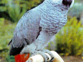The African Grey Parrot that went missing on June 10