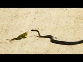 Snake finds chameleon on the road