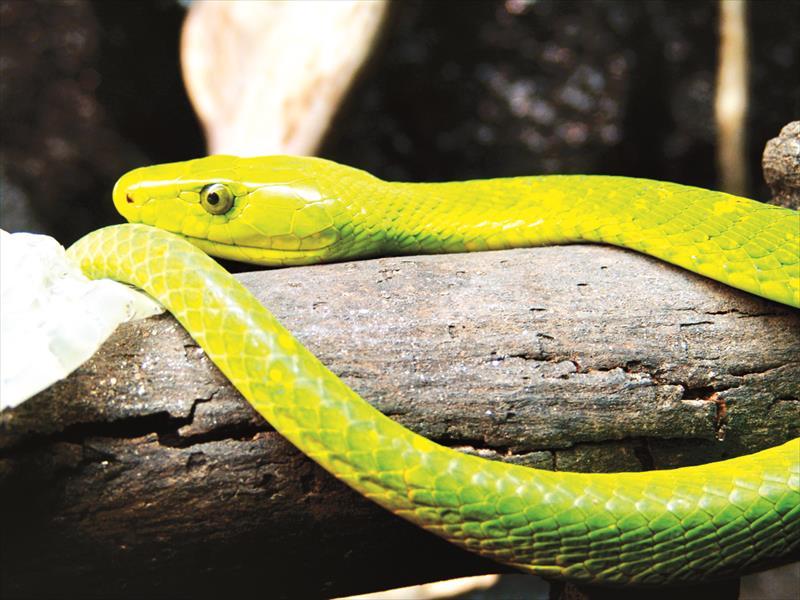 Мамба змея домашняя