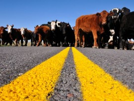 smart-traveler-road-trip-new-mexico-cows_33889_600x450