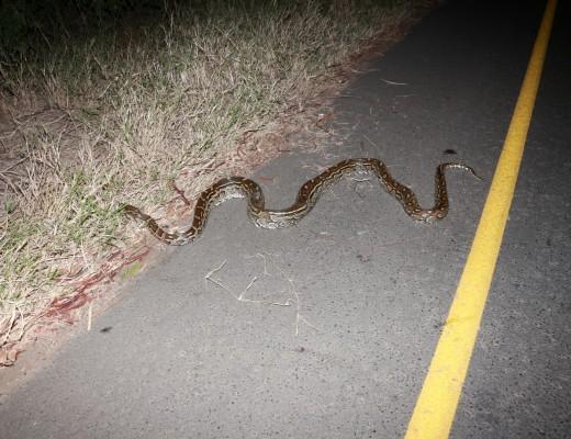 Python killed on John Ross Parkway   Zululand Observer