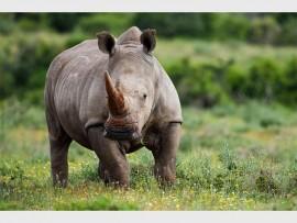 kariega-white-rhino_459930711