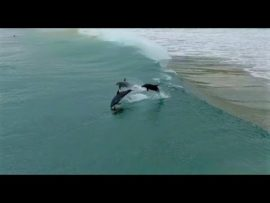 Drone footage of dolphins surfing at Umdloti Beach, Durban,
