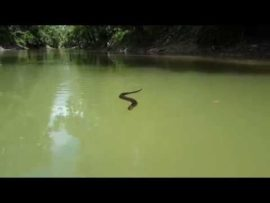 A very curious cottonmouth snake