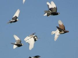 pigeon roller