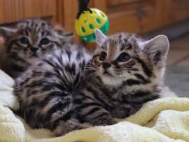 Although cute and cuddly, the kittens are aggressive.