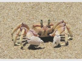 Crab_89008