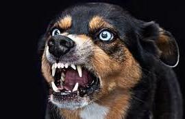 Rabit dog