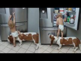 Toddler and his dog team up to raid fridge