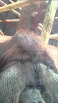 orangutan-kisses-pregnant-womans_small
