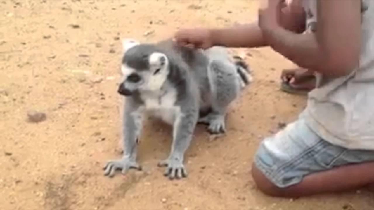 Greedy lemur begs two kids to scratch its back