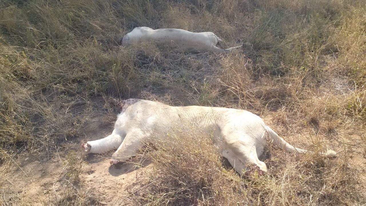 3 nabbed for sale of lion parts review