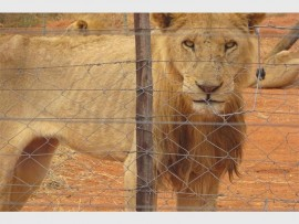 One of the severely malnourished Lions found at Ingogo Safaris in Alldays.