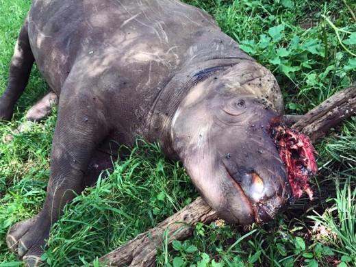 Die Swartrenosterbul, Enhlebe, wat tydens 'n horingstropery in sy nek doodgeskiet is. Foto: Verskaf