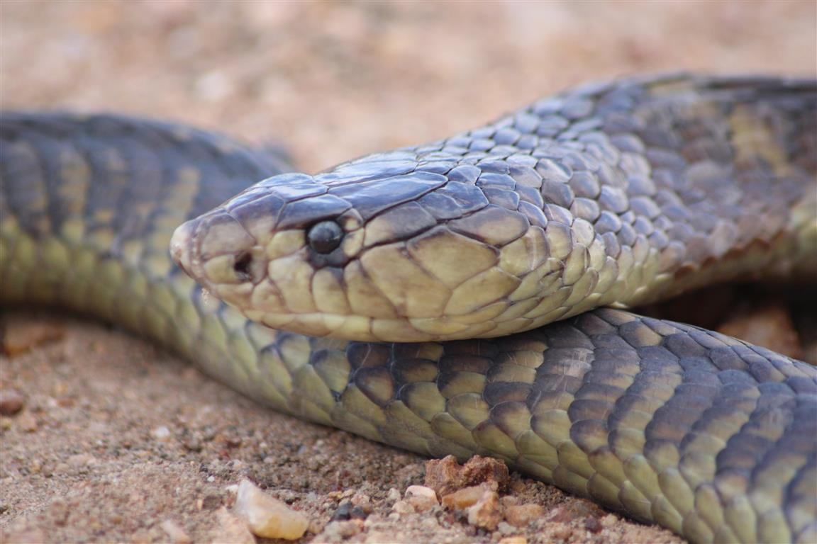 dangerous snakes in polokwane check out dangerous snakes