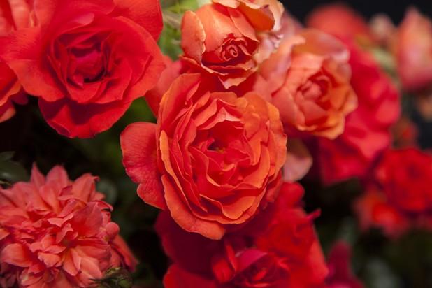 The rose named after the late former President Nelson Mandela