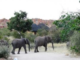 Elephants roam free at Leokwe Rest Camp in Mapungubwe National Park.