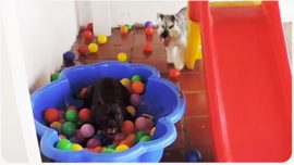 Dog's reaction when he sees ball pit for the first time