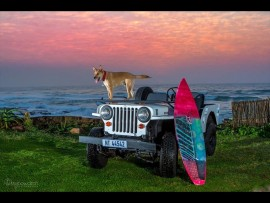 A salty dog on Salty Dog. Ziggy - a rescue dog - poses on top of his owners 1946 Willys Jeep, lovingly nicknamed 'Salty Dog.' Photo: Barry Bowditch