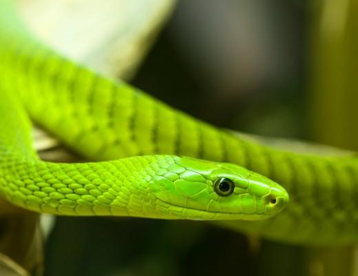 A Green Mamba.