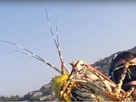 Leon Anderson caught this massive lobster off  Tiffany's Reef.