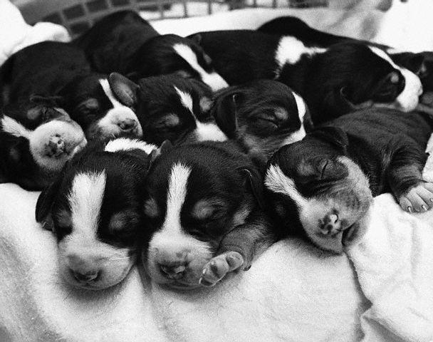 Swedish Foxhound Pups Asleep in Basket