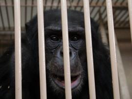 Moti the chimpanzee. Photo: Kristian Meijer.