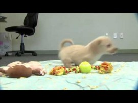 VIDEO OF THE DAY: Puppy without front legs gets new wheelchair