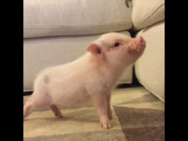 VIDEO OF THE DAY: A small piglet with a big heart