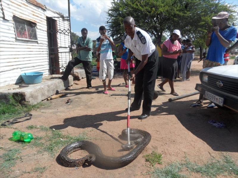 Python removed from community   Rekord North