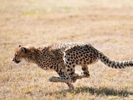 Cheetah-DP-3