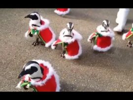 VIDEO OF THE DAY: Christmas penguins