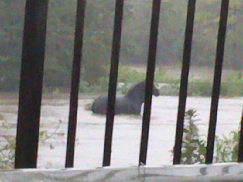 The horse stuck in the Hennops River.  Photo: Supplied.