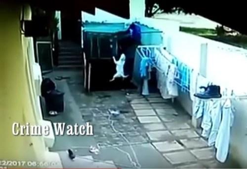 WATCH VIDEO: Bull terriers attack criminal | Centurion Rekord