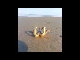 VIDEO OF THE DAY: How starfish move