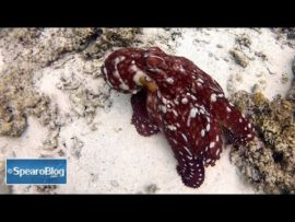 VIDEO OF THE DAY: Colour changing octopus