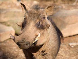 vlakvark; warthog