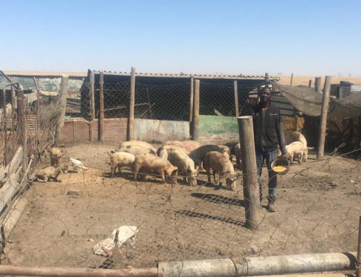 GRAPHIC CONTENT] Pig farmers need help to combat African